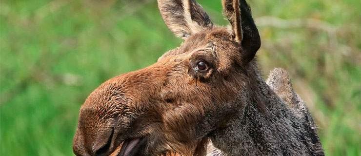 607-moose