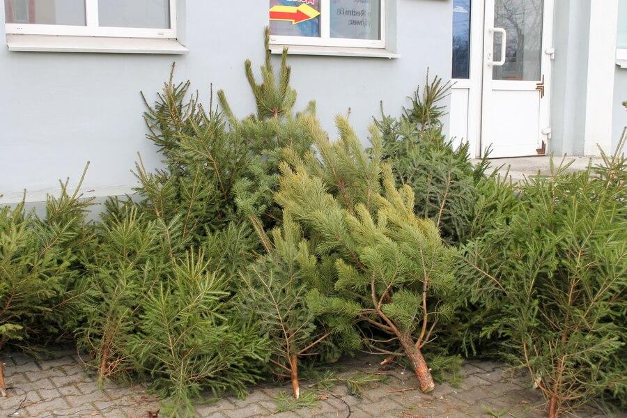 Сколько новогодних елок купили случчане в 2019 году - Слуцк Деловой