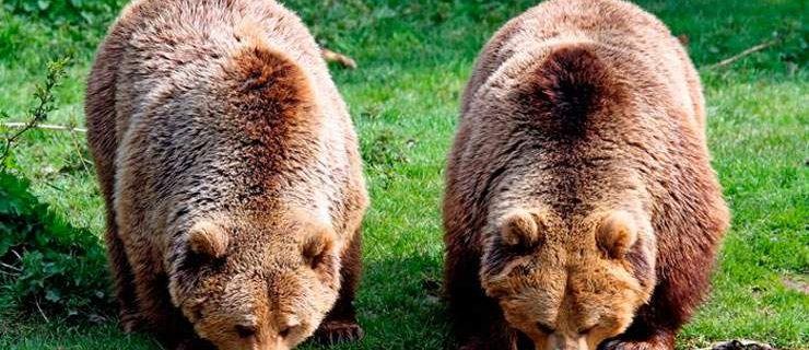 605-bears (1)