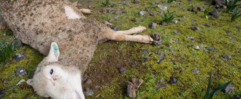 depositphotos_61397281-stock-photo-sheep-dead