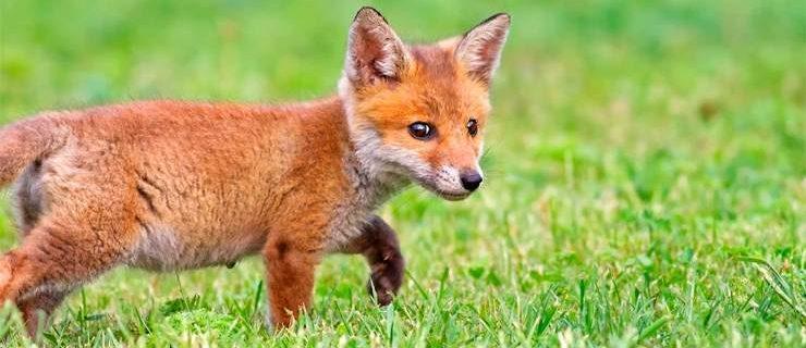 605-fox