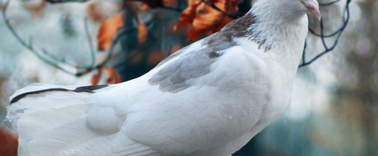white-pigeon-wallpaper-free-desktop-1024x640