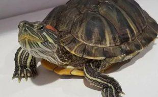 Отдадим красноухую черепаху (16х20см) в добрые руки.